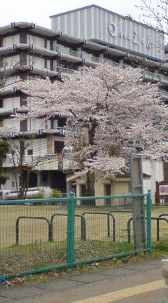 鬼怒川温泉は桜が満開