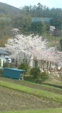 諏訪は桜の季節